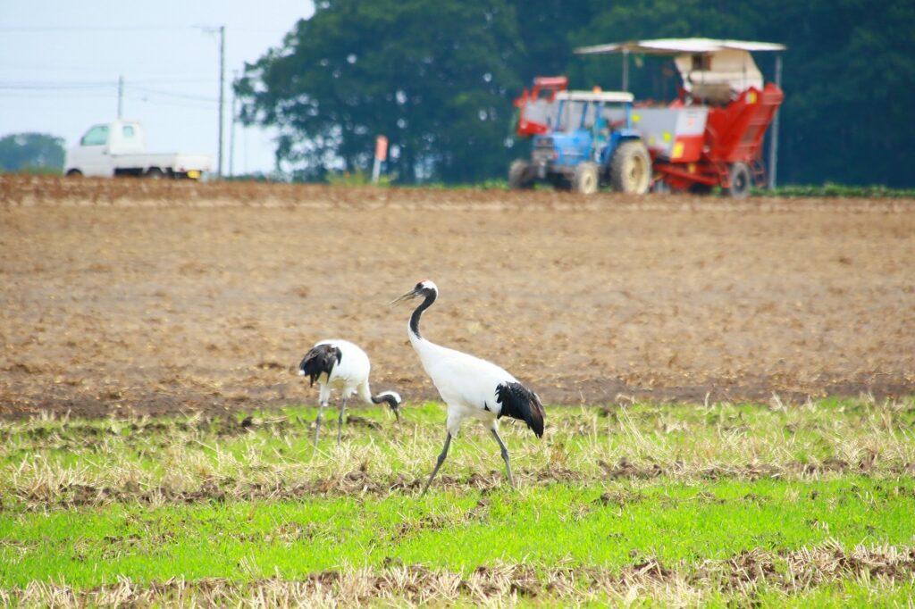 【JAところ通信】~鶴が見守る中で~馬鈴しょの収穫作業を撮影しました